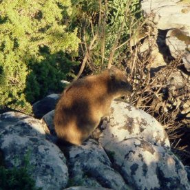 We spotted a Dassie!